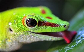 Lizard Kopf close-up HD Hintergrundbilder