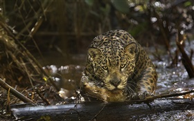 Jaguar close-up, raub, Amazonia HD Hintergrundbilder