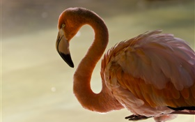 Flamingo close-up, Vogel, Hals, Federn HD Hintergrundbilder