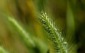 Grass Schwanz close-up HD Hintergrundbilder